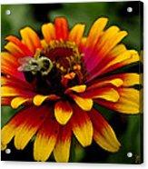 Pollenating Bumblebee Acrylic Print