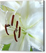 Pollinated White Tiger Lily Acrylic Print