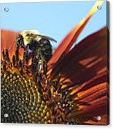 Pollinating Sunflower Seeds Acrylic Print