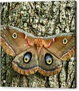Polyphemus Moth Acrylic Print