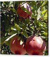Pomegranate Tree  Acrylic Print
