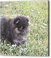 Pomeranian Alert Puppy Acrylic Print