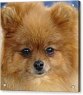 Pomeranian Acrylic Print