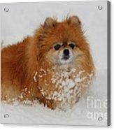 Pomeranian In Snow Acrylic Print