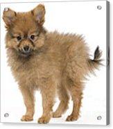Pomeranian Puppy Dog Acrylic Print