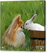 Pomeranian With Rabbit Acrylic Print
