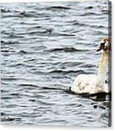 Pond Swan Acrylic Print