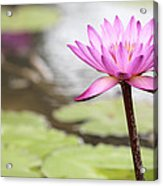 Pond With Pink Water Lily Flower Acrylic Print