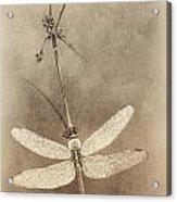 Pondhawk Dragonfly Acrylic Print