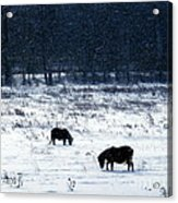 Ponies In The Snow Acrylic Print