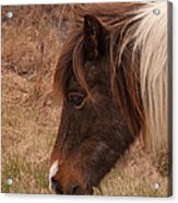 Pony Head Acrylic Print