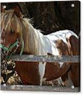 Pony Horse Acrylic Print