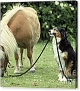 Pony With Lead Rope Held By Sitting Dog Acrylic Print