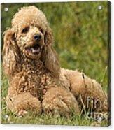 Poodle Dog Acrylic Print