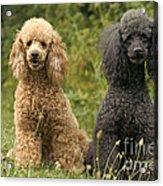 Poodle Dogs Acrylic Print