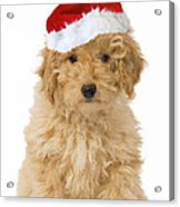 Poodle In Christmas Hat Acrylic Print