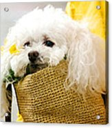 Poodle In Pouch Acrylic Print