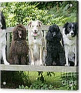 Poodles And Other Dogs On A Bench Acrylic Print