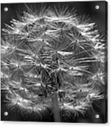 Poof - Black And White Acrylic Print