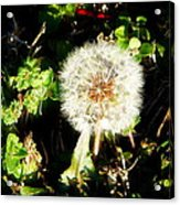 Poof I Will Be Gone Acrylic Print