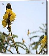 Popcorn Blossoms Acrylic Print
