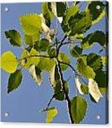 Poplar Leaves Acrylic Print