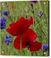 Poppies And Cornflowers Acrylic Print