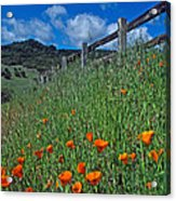 Poppies And The Fence Acrylic Print by Kathy Yates