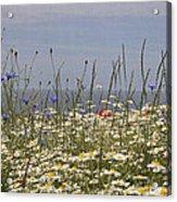 Poppies Et Al V Acrylic Print