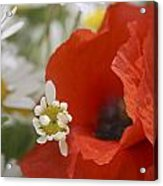 Close Up Of A Poppy With Daisies Acrylic Print