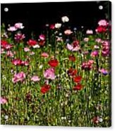 Poppies Gettin Sun Acrylic Print
