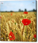 Poppies In Grain Field Acrylic Print by Elena Elisseeva
