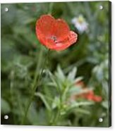 Poppies In Park In Arnhem Netherlands Acrylic Print