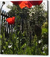 Poppies In The Sun Acrylic Print by Stephen Norris