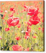 Poppies In Tuscany - Italy Acrylic Print