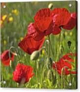 Poppies In Yorkshire Acrylic Print