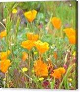 Poppy 36 Acrylic Print