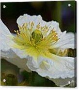 Poppy Adoration Acrylic Print
