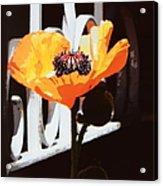 Poppy Art Poster Print Acrylic Print