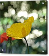 Poppy At The Discoteque Acrylic Print