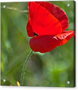 Poppy Blowing In The Wind Acrylic Print