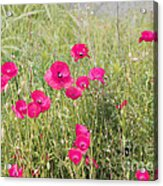 Poppy Blush Acrylic Print