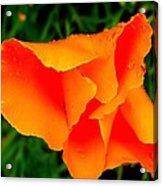 Poppy Dew Acrylic Print