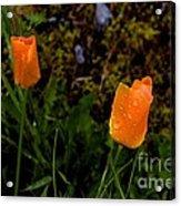 Poppy Drop Acrylic Print by Tim Rice