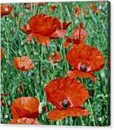 Poppy Field 2 Acrylic Print