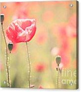 Poppy Field In Tuscany - Italy Acrylic Print