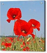 Poppy Fields 4 Acrylic Print