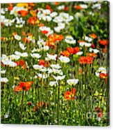 Poppy Fields - Beautiful Field Of Spring Poppy Flowers In Bloom. Acrylic Print