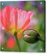 Poppy In Waiting Acrylic Print
