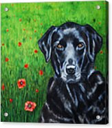 Poppy - Labrador Dog In Poppy Flower Field Acrylic Print